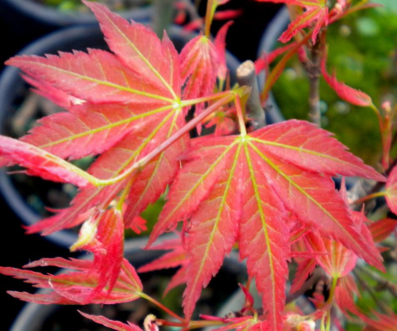 Japanese Maple D